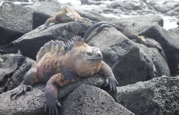 Havsleguan på stenar