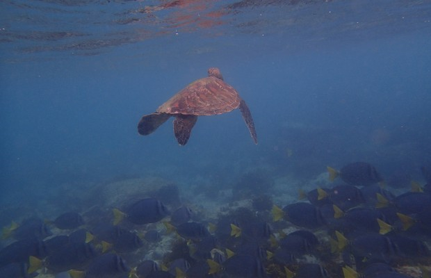 En havssköldpadda simmar ovanför en stim av fiskar på Galapagos