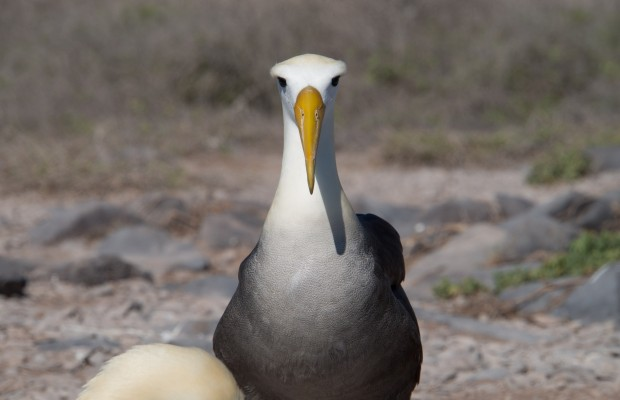 Galapagosalbatross rakt framifrån