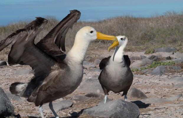 Albatross på Galapagos flexar sina vingar