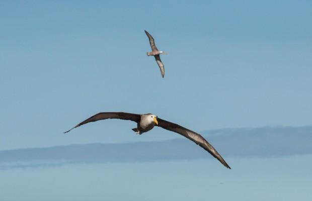 Galapagosalbatross ute och flyger