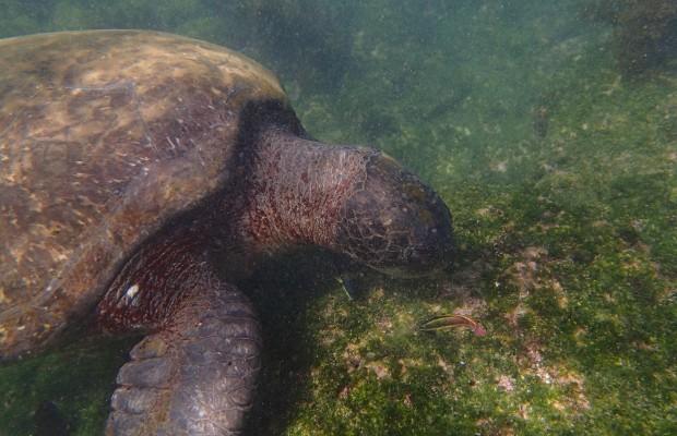 Havssköldpadda på Galapagos äter alger på sten