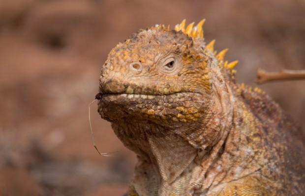 Närbild av leguan på Galapagos